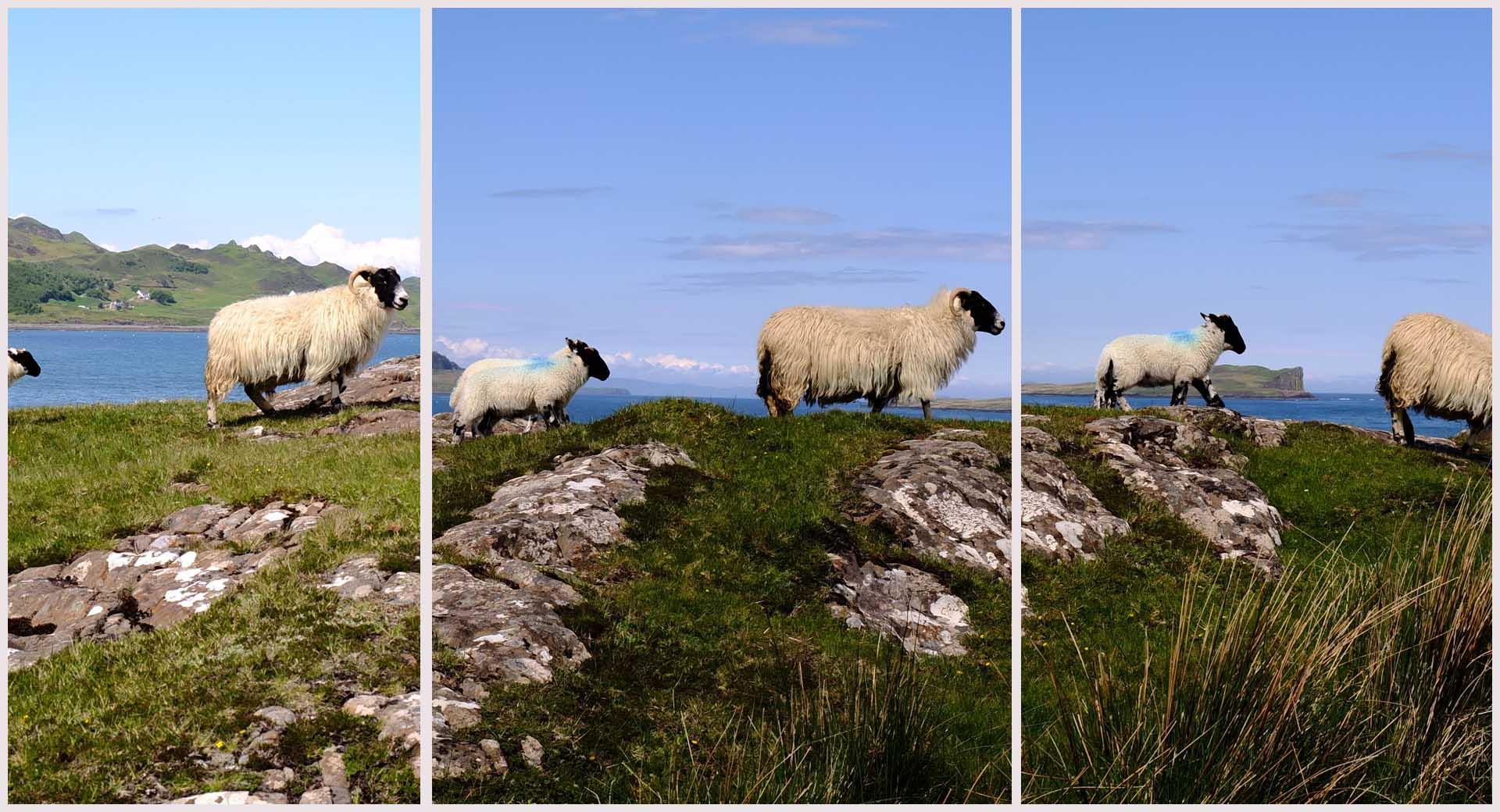 trotternish skye scotland ecosse moutons