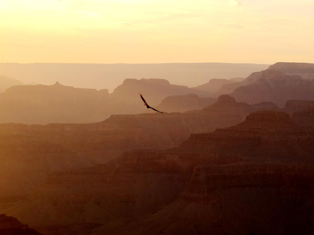 oiseau grand canyon